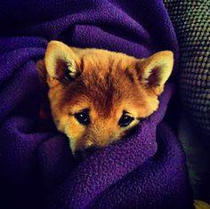 baby shiba inu is cold