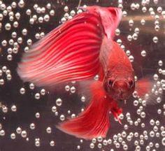 """Os peixes são vertebrados. Este é um """"red fish""""."""