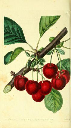 botanical prints    n189_w1150 by BioDivLibrary, via Flickr