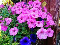 Petunie My Flower, Flower Power, Terrazzo, Flora, Plants, Diy, Gardening, Ikea, Christian