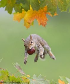 grey squirrel attempting to crack a horse chestnut