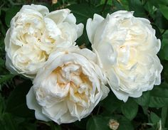 If I can't get peonies then maybe instead white cottage roses