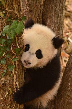 https://flic.kr/p/mHxsRx | Bao Bao - Panda cub | 140402 cd 485