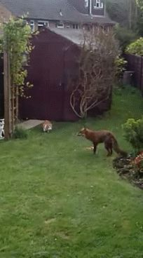 Cat gif.I am stunned to see the unafraid cats  successfully chasing the fox away!