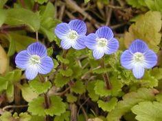 おおいぬのふぐり(ごまのはぐさ科) 春を告げてくれる本当に可憐な青い花です。 道端にいて可愛い笑顔を見せてくれますが、小さすぎて見過ごしてしまいそうです。