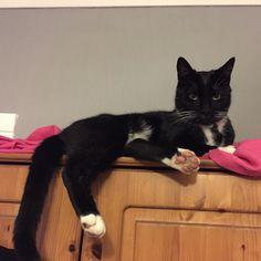 Cool cat chilling on top of the wardrobe  FOLLOW ME ON FACEBOOK  http://ift.tt/1YKW9Ur #walter #blacktoe #cat #catastic #tuxedocat #tuxie #blackandwhite #blackcat #cats #ilovemycat #pussycat #kitty #handsomeboy #doubletap #cute #babyboy #myboy #kitten #follow4follow #followforfollow #love #babyboy #catsofinstagram #ff #instafollow #l4l #followback #picoftheday #catlady #catlover by my_name_is_walter