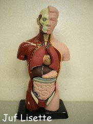"""Menselijk lichaam We bekijken ook de binnenkant van ons lijf. Dit """"menselijk lichaam"""" is te koop bij bijvoorbeeld de Hema. Dan gaan we tekenen. We tekenen onszelf en daarin kunnen we hersens, hart, longen, maag en darmen zien."""