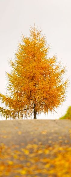 Golden tree! A Tamarac or Larch. Such a fascinating tree. It has needles and is a hard word tree that turns gold each fall and loses its needles.