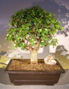 Baby Jade Bonsai Tree Portulacaria Afra Jade Bonsai Buy Bonsai Tree Bonsai Tree