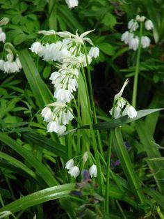 Im Frühjahr kannst du den Wunder-Lauch ähnlich nutzen wie den beliebten Bärlauch. - Bild von Kor!An, CC BY-SA 3.0, wikimedia