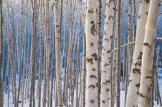 Get to Know the Magic of the Celtic Tree Calendar: Birch Moon: December 24 - January 20