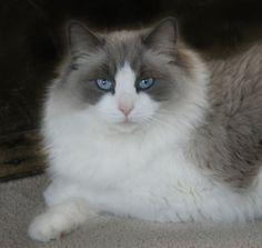 Ragdoll Cats and Kittens, Colorado, Colorado Ragdoll Cats...Blue Bicolor