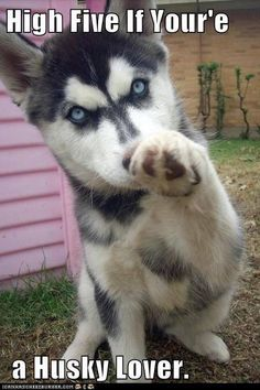 Huskies Pets have more love and compassion in them than most humans. huskies husky dog husky adoption a husky dog a husky puppy husky breeds husky baby husky blue eyes husky colors Tg; Cute Husky Puppies, Rottweiler Puppies, Husky Puppy, Cute Dogs, Dogs And Puppies, Doggies, Malamute Puppies, Baby Dogs, Baby Animals