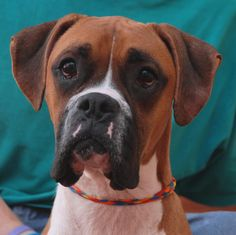 Sketch's eyes may be heartbreaking, but he is actually making a beautiful recovery from starvation and triumphantly debuting for adoption today at Nevada SPCA (www.nevadaspca.org).  He is an affectionate Boxer, 3 years of age and neutered, and good with dogs and kids.  Volunteers discovered Sketch in an apartment during a rescue of a momma dog and her newborn babies.  He was so emaciated they feared for his life and his previous owner agreed to relinquish him.