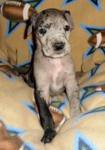 Great Dane Rescue in Ohio: Harlequin Haven Great Dane Rescue -- Adoptable Danes -- Karl