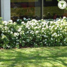 Plants, Garden Shrubs, Blossom Garden, Sensory Garden, Garden Hedges, Hedges, Garden Planning, Orange Plant, Landscaping Plants