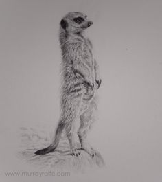 Meerkat pencil drawing by Murray Ralfe www.murrayralfe.com