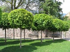 images of designer maple trees - Google Search