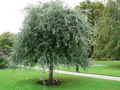 Pyrus salicifolia pendula - Weeping Silver Pear Its silvery-gray leaves enhance the weeping effect of this small, tree as do the delicate white flowers which cover its weeping branches in late spring; a striking landscape subject. Garden Shrubs, Garden Trees, Garden Pots, Pear Trees, Fruit Trees, Trees And Shrubs, Trees To Plant, Small Gardens, Outdoor Gardens