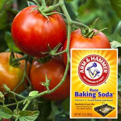 Growing Tomatoes 10 Secret Ingredients That Can Help Your Garden Grow Garden Pests, Garden Tools, Garden Ideas, Garden Insects, Garden Projects, Garden Fertilizers, Horticulture, Organic Insecticide, Soda Brands