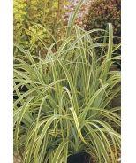 Variegated Tataki Grass (Carex trifida 'Rekohu Sunrise') - Evergreen 2-3 ft tall