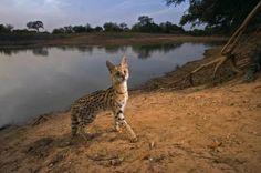 Serval Cat found in Africa