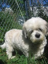 Daphne is an adoptable Lhasa Apso Dog in Oakland, NJ. Daphne is an adorable little lady that was left behind when her owner could no longer care for her. She is sweet and friendly and will make a gre...