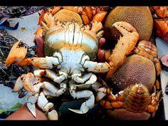 curacha - redfrog crab, spanner crab (Philippine Food Illustrated)