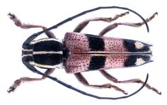 https://flic.kr/p/GLRHev | Glenea gabonica (Thomson, 1858) | Family: Cerambycidae Size: 12.5 mm Location: Cameroon, Bangem, 1200 m leg. local collector, III.2012; det. K.Adlbauer, 2017 Photo: U.Schmidt, 2017