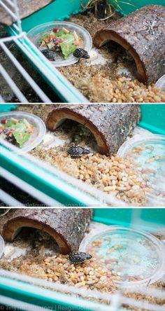 baby box turtle enclosure / cage / habitat