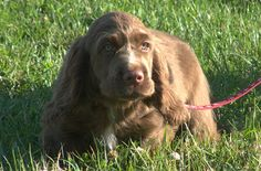 If you are looking for a calm, friendly breed that is great with kids and has a noble appearance, look no further than the Sussex Spaniel. These dogs have survived throughout the ages, despite a difficult past, and are making a comeback as a loyal, family-friendly breed.