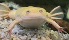 Afbeeldingsresultaat voor xenopus laevis albino