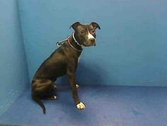 GONE RIP 4/20/13 Brooklyn Center -  BLACKSTAR A0961776. male black and white pit bull mix about 10 MONTHS old. Blackstar future is dim—he's on tomorrow's list and unless someone sees what a great dog this, he will not live to celebrate his first birthday! Blackstar needs a foster/adopter to take him home. PLEASE SHARE. And he needs all that now! Please save him.  https://www.facebook.com/photo.php?fbid=595652407114309=a.275017085844511.78596.152876678058553=3
