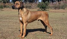 Everything you want to know about Rhodesian Ridgebacks including grooming, training, health problems, history, adoption, finding good breeder and more.