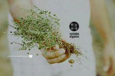 www.cycladesorganics.gr Organic cycladic thyme