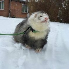 """""""Marshall pet contestant Look at little merlin enjoying his time in the snow! Ferrets Care, Baby Ferrets, Funny Ferrets, Pet Ferret, Funny Animal Memes, Funny Animals, Cute Little Animals, Cute Creatures, Exotic Pets"""