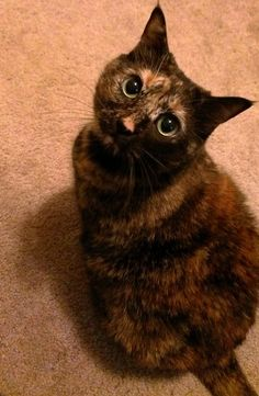 my tortie This looks a lot like my baby!