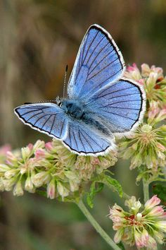 Anna's Blue Butterfly - by Frank Townsley