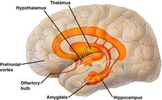 Limbic System. The limbic system is responsible for controlling various functions in the body. Structures of this system include the hippocampus, hypothalamus, and thalamus.