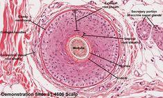 hair follicle histology - Google Search