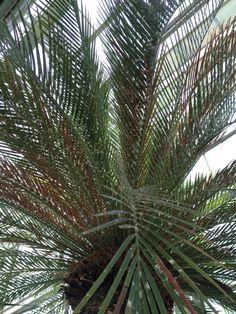 Palm in Hortus Leiden