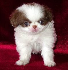 Japanese Chin. Santa got my baby girl one of these for Christmas.. So Cute..