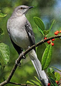 Northern Mockingbird by HH Photography