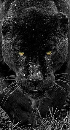 Black Jaguar Series by Colin...