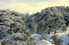 Our evergreen أرزاتنا الله حاميها By Fouad Hajj Lebanon Cedar, Cedar Forest, Baalbek, Beirut Lebanon, Miss World, Where The Heart Is, Holiday Destinations, Asia Travel, Scenery