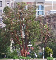 Arbutus Victoria - Arbutus - Wikipedia, the free encyclopedia Fruit Trees, Palm Trees, Fruit Plants, California Native Plants, Fan Palm, Plant Guide, Ventura County, How To Grow Taller, Growing Tree