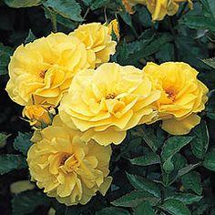 David Austin Roses for Shade   Korresia - David Austin Roses