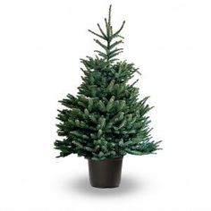 Startling silver-blue to fresh green foliage and ridged branches, highly perfumed and popular as a potted display tree. Christmas Tree Guide, Christmas Tree Care, Spruce Christmas Tree, Potted Christmas Trees, Live Christmas Trees, Traditional Christmas Tree, After Christmas, Xmas Tree, Picea Abies