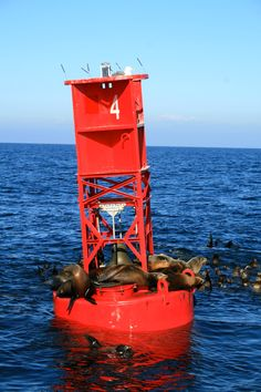 Sea Lions Off The Monterey Coast - Monterey, CA (December - 2011)