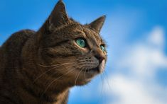 Download wallpapers gray cat, green eyes, blue sky, portrait of a domestic cat, breeds of short-haired cats